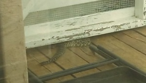 rattlesnake curling up beneath white gate
