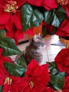 Gray cat framed by poinsettia christmas wreath.