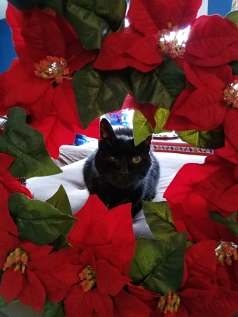 Black cat framed by poinsettia christmas wreath